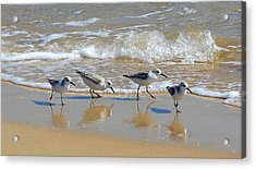 A Cute Quartet Of Sandpipers Acrylic Print
