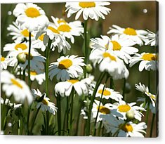 A Daisy A Day Acrylic Print