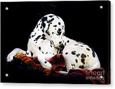 A Dalmatian Prince Acrylic Print by Blair Stuart