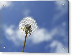 A Dandelion Flower Acrylic Print