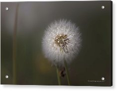 Acrylic Print featuring the photograph A Dandelion by Lora Lee Chapman