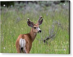 A Deer In Yellowstone National Park  Acrylic Print