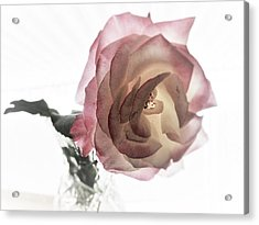 A Delicate Rose Acrylic Print by Michaline  Bak