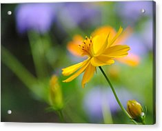 A Delicate Touch Of Orange Acrylic Print by William Martin