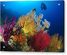 A Diver Looks On At A Colorful Reef Acrylic Print by Steve Jones