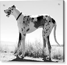A Dog Named Picasso Acrylic Print by Robert Knight