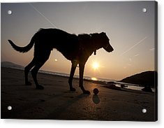 A Dog With His Ball At Sunset Acrylic Print by Paul Quayle