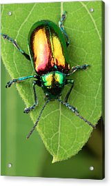 A Dogbane Leaf Beetle, Acrylic Print by George Grall