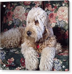 Acrylic Print featuring the photograph A Doodle In Trouble by Diane Daigle