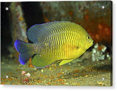A Dusky Damselfish Offshore From Panama Acrylic Print by Michael Wood