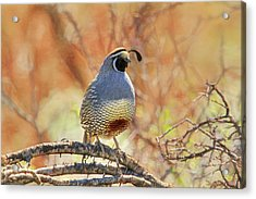 A Feather In His Cap Acrylic Print by Donna Kennedy