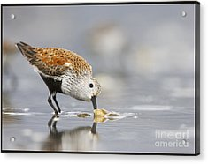 A Feeding Dunlin Acrylic Print by Tim Grams