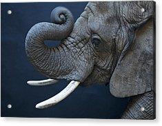 A Female African Elephant, Loxodonta Acrylic Print by Joel Sartore
