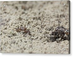 A Fiddler Crab In The Sand Acrylic Print