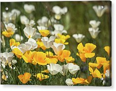 Acrylic Print featuring the photograph A Field Of Golden And White Poppies  by Saija Lehtonen