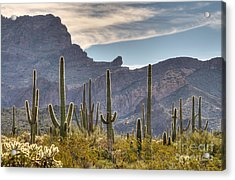A Forest Of Saguaro Cacti Acrylic Print