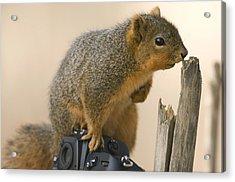 A Fox Squirrel Sciurus Niger Sits Acrylic Print by Joel Sartore