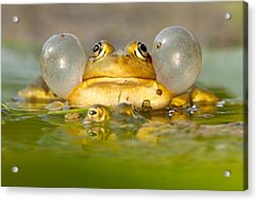 A Frog's Life Acrylic Print by Roeselien Raimond