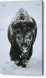A Frost-covered American Bison Bull Acrylic Print by Tom Murphy