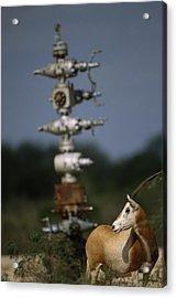 A Gemsbok Standing Near A Natural Gas Acrylic Print by Joel Sartore