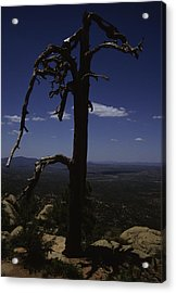 A Gnarled Tree In Arizona Acrylic Print by Stacy Gold