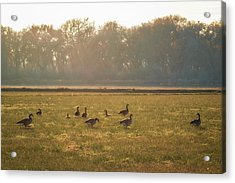 A Golden Dream Of Geese Acrylic Print by Mary Lee Dereske
