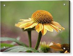 A Golden Echinacea -  Acrylic Print