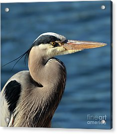 Acrylic Print featuring the photograph A Great Blue Heron Posing by Susan Wiedmann