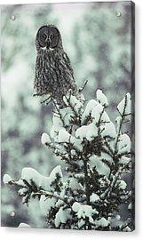 A Great Gray Owl Strix Nebulosa Perches Acrylic Print by Tom Murphy