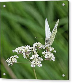 A Green-veined White (pieris Napi) Acrylic Print by John Edwards