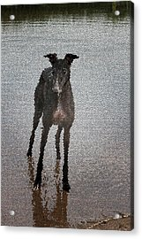 A Greyhound's Play Time Acrylic Print by Andrea Lawrence