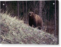 A Grizzly Bear Approaching The Crest Acrylic Print by Bobby Model