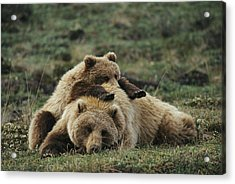 A Grizzly Bear Cub Stretches Acrylic Print by Michael S. Quinton