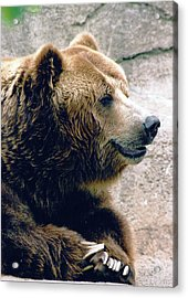 A Grizzly Grin Acrylic Print