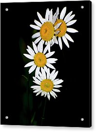 Acrylic Print featuring the digital art A Group Of Wild Daisies by Chris Flees