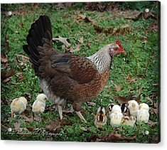 A Hen And Her Chicks Acrylic Print