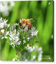 A Honey Bee At Work In An Herb Garden Acrylic Print