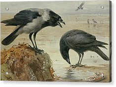 A Hooded Crow And A Carrion Crow Acrylic Print by Archibald Thorburn
