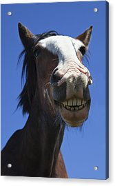 A Horse Smiling And Showing Its Teeth Acrylic Print