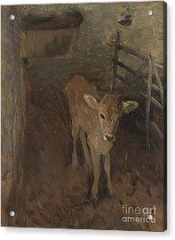 A Jersey Calf, 1893 Acrylic Print by John Singer Sargent