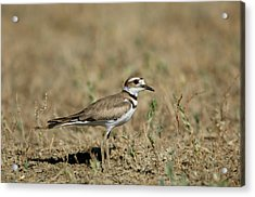 A Killdeer In Eastern Montana Acrylic Print by Joel Sartore