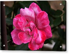 A Knockout Pink Acrylic Print by Paul Anderson