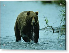 A Kodiak Brown Bear Ursus Middendorfii Acrylic Print by George F. Mobley