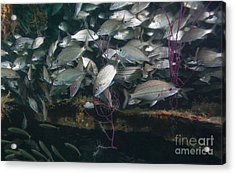 A Large School Of Tomtate Acrylic Print by Michael Wood