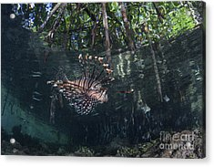 A Lionfish Swims Along The Edge Acrylic Print by Ethan Daniels