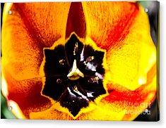 A Look Inside A Tulip  Acrylic Print