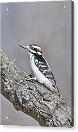 Acrylic Print featuring the photograph A Male Downey Woodpecker 1120 by Michael Peychich