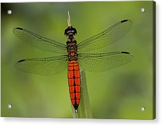 A Male Forest Chaser Dragonfly Rests Acrylic Print by Joe Petersburger