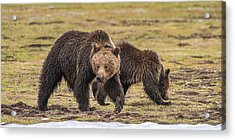 A Mini-mom And Yearling Acrylic Print
