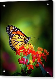 A Monarch In The Garden Acrylic Print by Mark Andrew Thomas